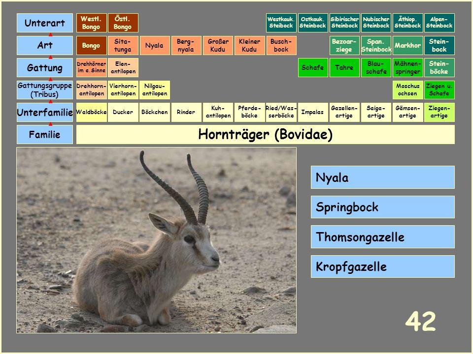 42 Hornträger (Bovidae) Nyala Springbock Thomsongazelle Kropfgazelle