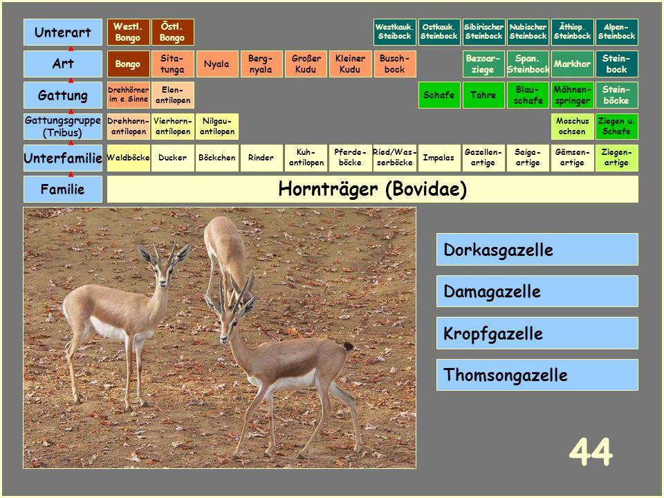 44 Hornträger (Bovidae) Dorkasgazelle Damagazelle Kropfgazelle