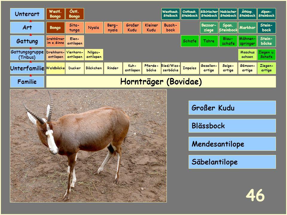 46 Hornträger (Bovidae) Großer Kudu Blässbock Mendesantilope