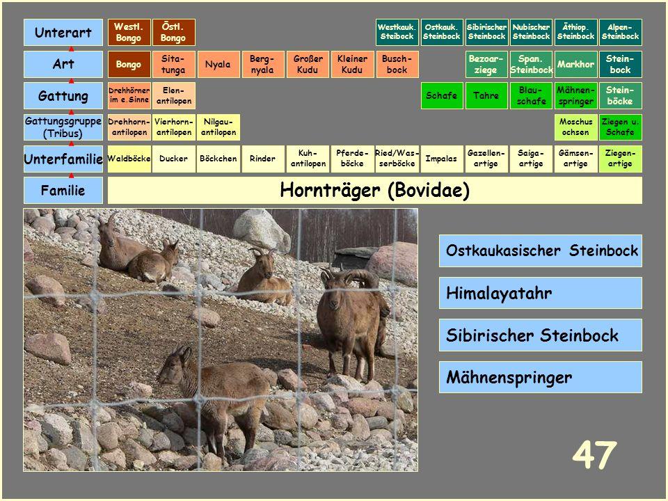 47 Hornträger (Bovidae) Himalayatahr Sibirischer Steinbock
