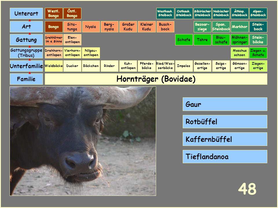 48 Hornträger (Bovidae) Gaur Rotbüffel Kaffernbüffel Tieflandanoa