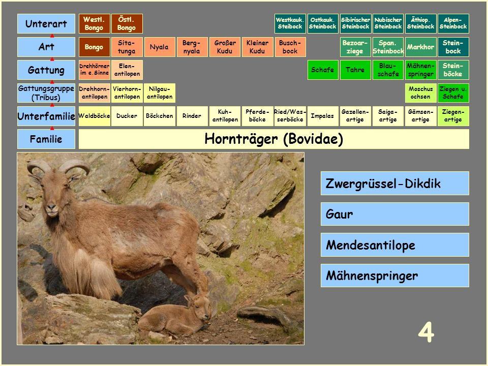 4 Hornträger (Bovidae) Zwergrüssel-Dikdik Gaur Mendesantilope