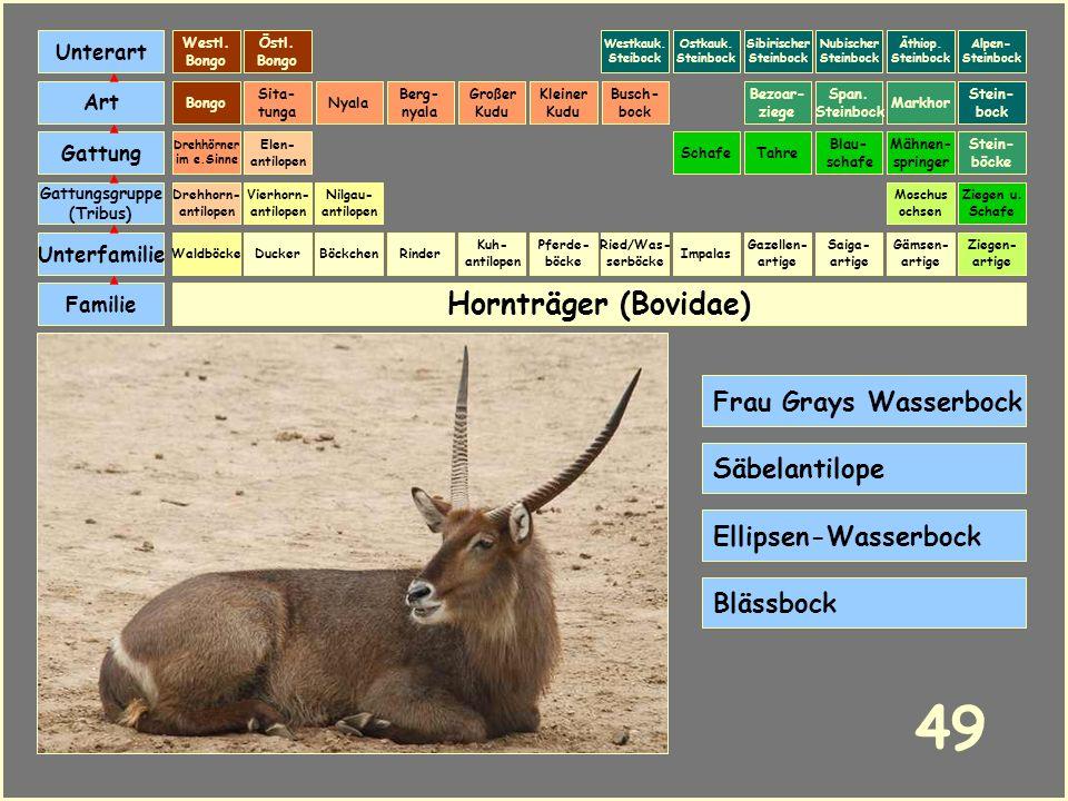 49 Hornträger (Bovidae) Frau Grays Wasserbock Säbelantilope