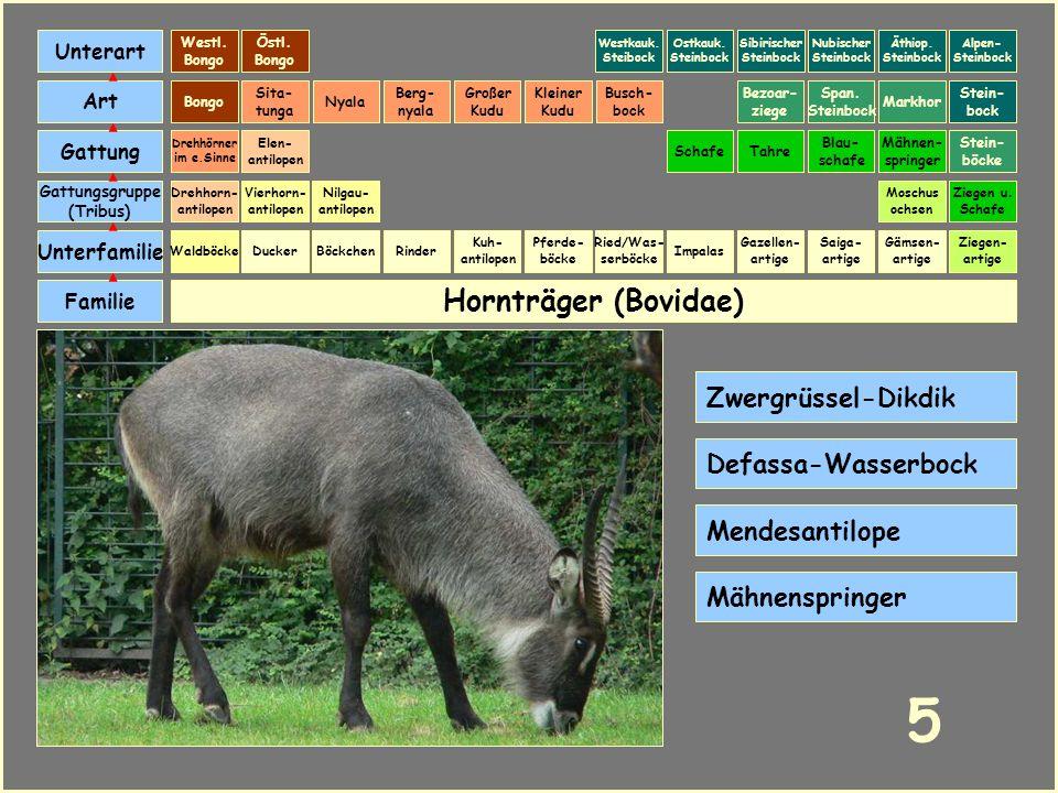 5 Hornträger (Bovidae) Zwergrüssel-Dikdik Defassa-Wasserbock