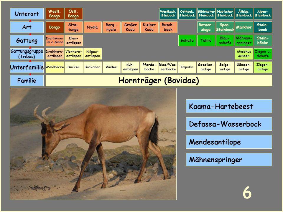 6 Hornträger (Bovidae) Kaama-Hartebeest Defassa-Wasserbock