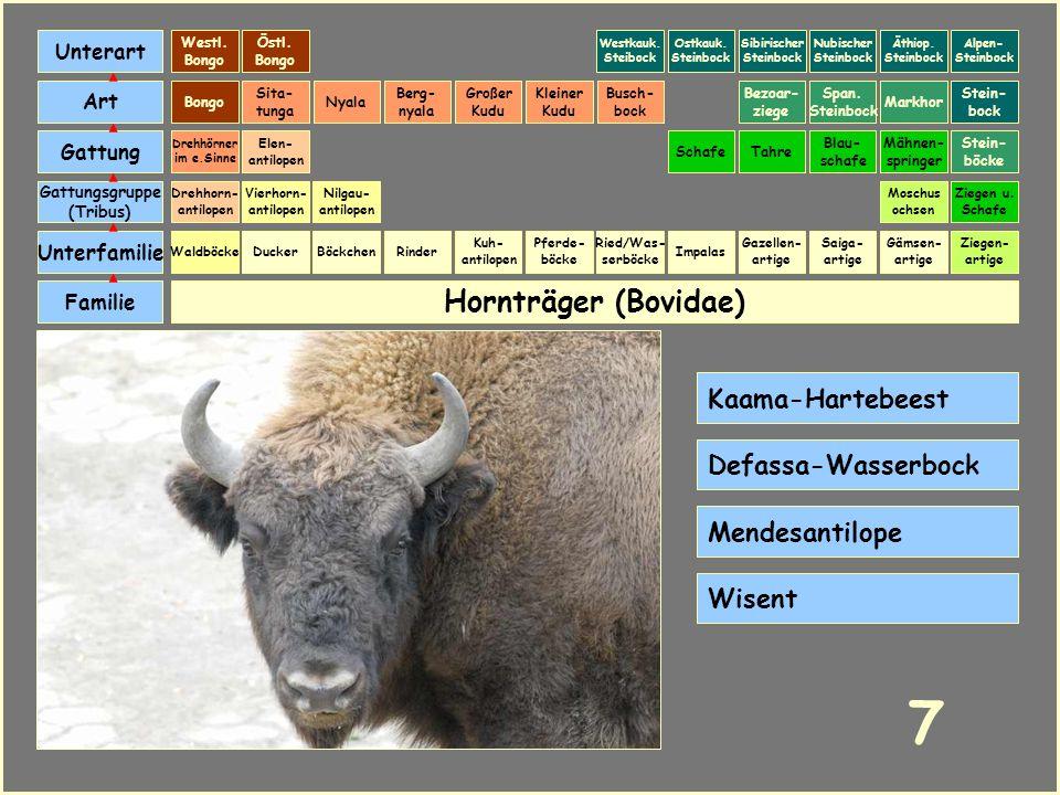 7 Hornträger (Bovidae) Kaama-Hartebeest Defassa-Wasserbock