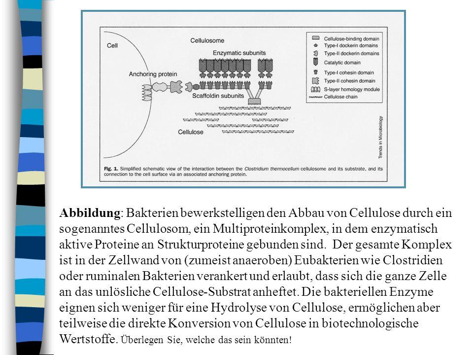 Abbildung: Bakterien bewerkstelligen den Abbau von Cellulose durch ein sogenanntes Cellulosom, ein Multiproteinkomplex, in dem enzymatisch aktive Proteine an Strukturproteine gebunden sind.
