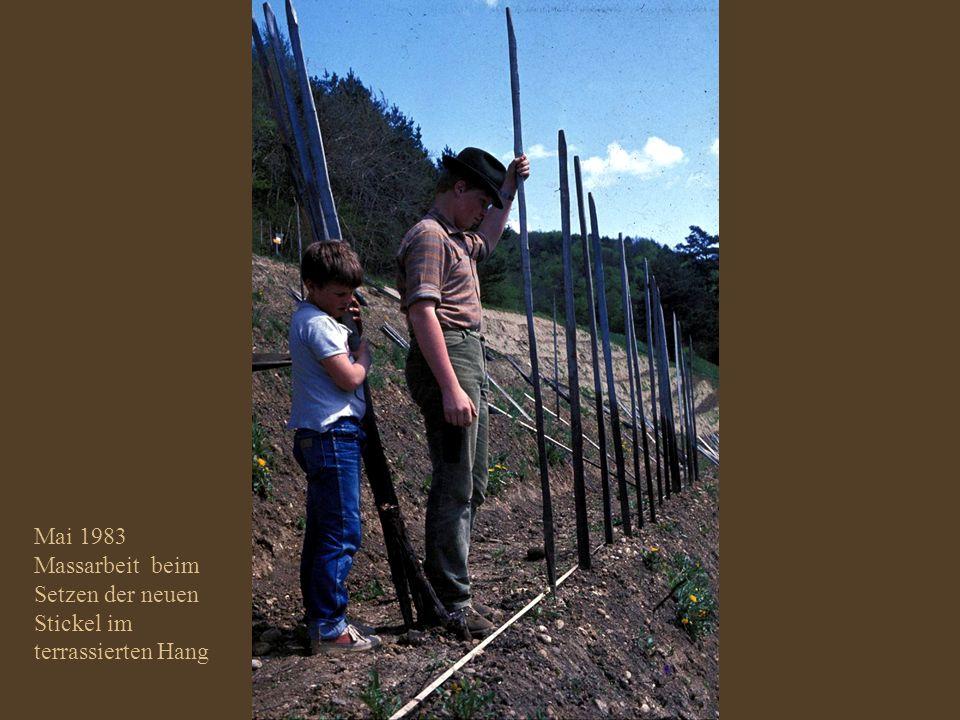 Mai 1983 Massarbeit beim Setzten der neuen Stickel im terrassierten Hang