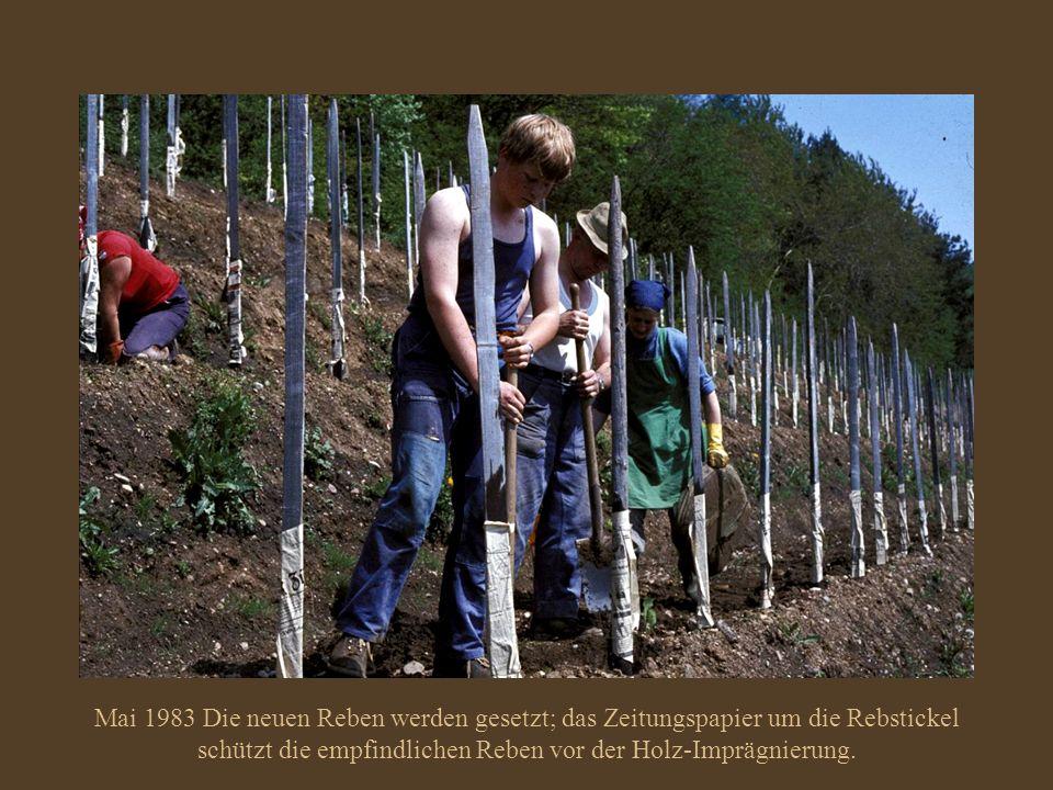 Mai 1983 Die neuen Reben werden gesetzt; das Zeitungspapier um die Rebstickel schützt die empfindlichen Reben vor der Holz-Imprägnierung