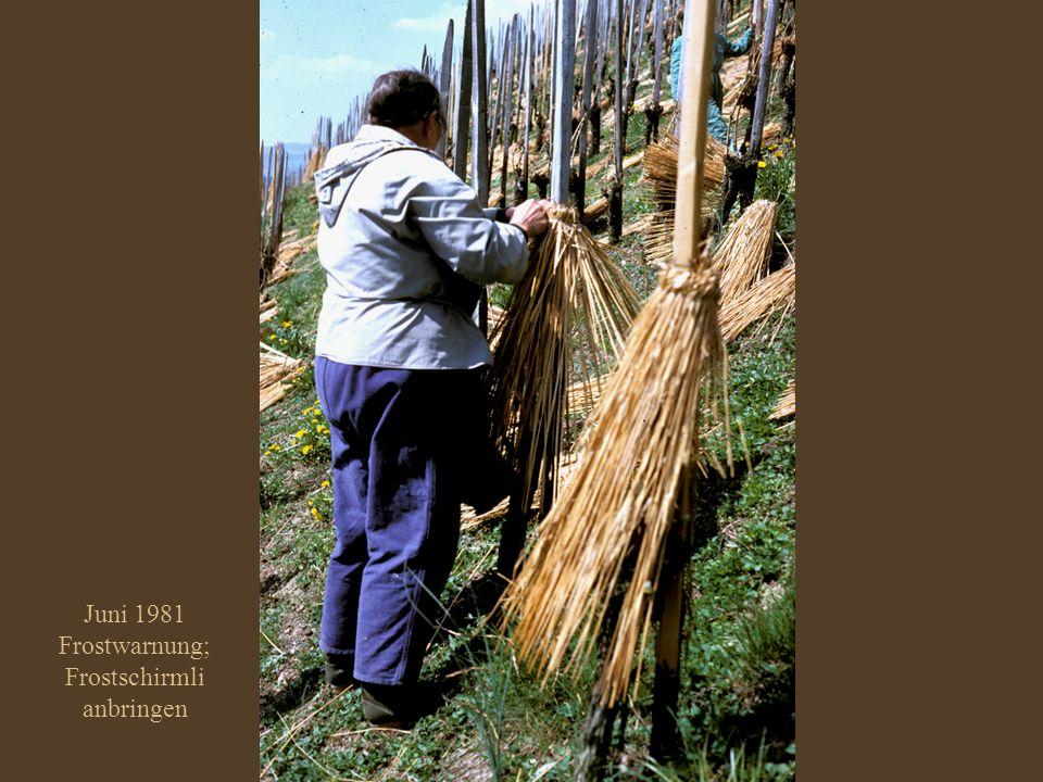 Juni 1981 Frostwarnung; Frostschirmli anbringen