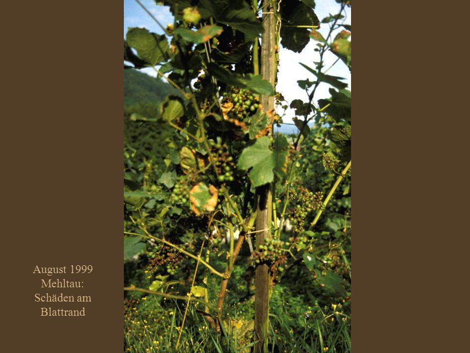 August 1999 Mehltau: Schäden am Blattrand
