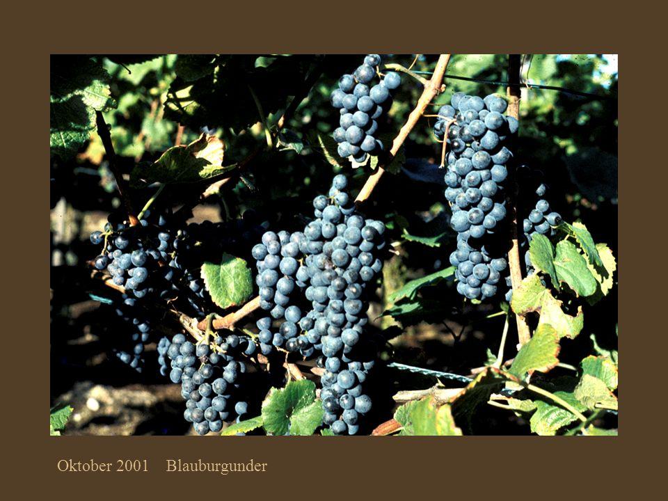 Oktober 2001 Blauburgunder
