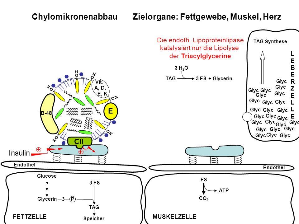 Chylomikronenabbau Zielorgane: Fettgewebe, Muskel, Herz
