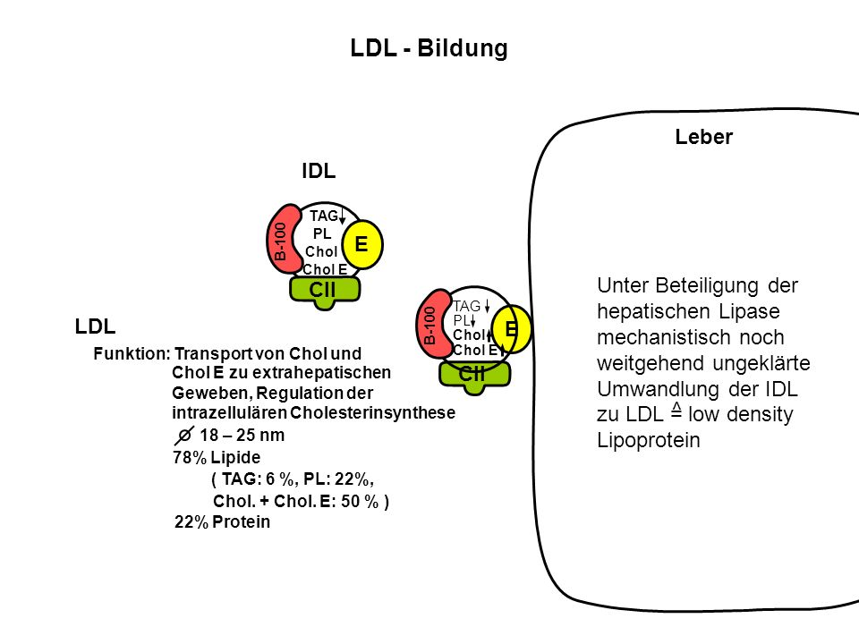 LDL - Bildung Leber IDL CII E Unter Beteiligung der hepatischen Lipase