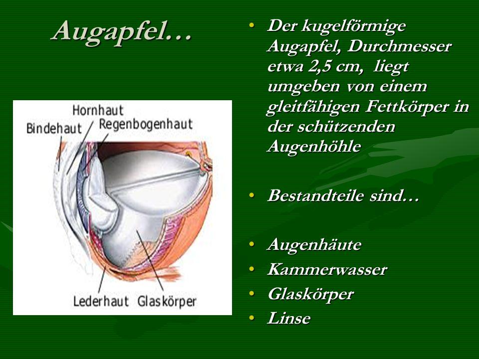 Augapfel… Der kugelförmige Augapfel, Durchmesser etwa 2,5 cm, liegt umgeben von einem gleitfähigen Fettkörper in der schützenden Augenhöhle.