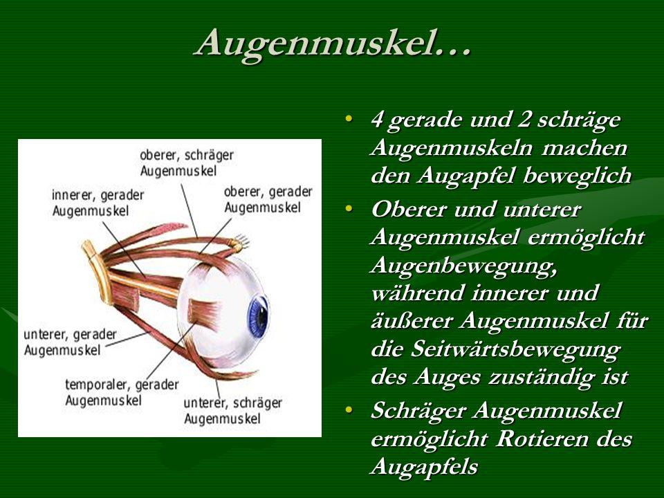 Augenmuskel… 4 gerade und 2 schräge Augenmuskeln machen den Augapfel beweglich.