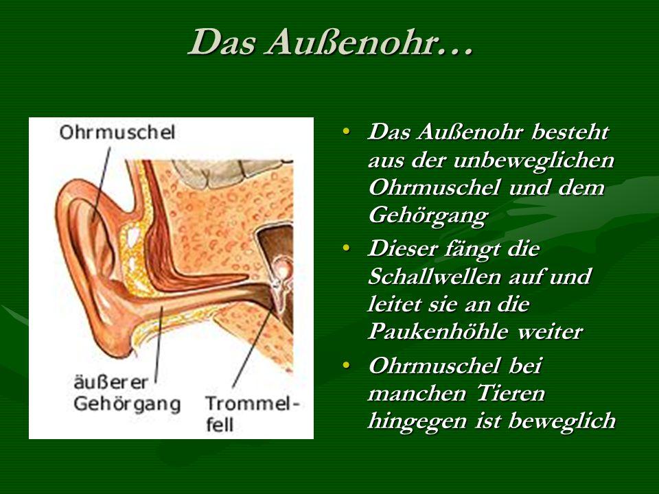 Das Außenohr… Das Außenohr besteht aus der unbeweglichen Ohrmuschel und dem Gehörgang.
