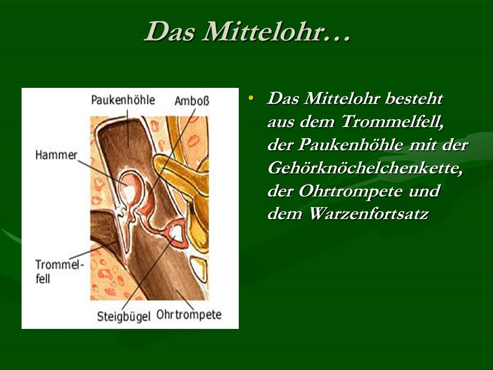 Das Mittelohr… Das Mittelohr besteht aus dem Trommelfell, der Paukenhöhle mit der Gehörknöchelchenkette, der Ohrtrompete und dem Warzenfortsatz.