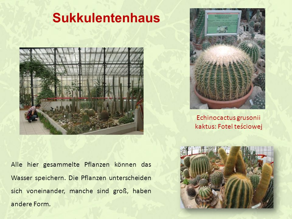 Sukkulentenhaus Echinocactus grusonii kaktus: Fotel teściowej