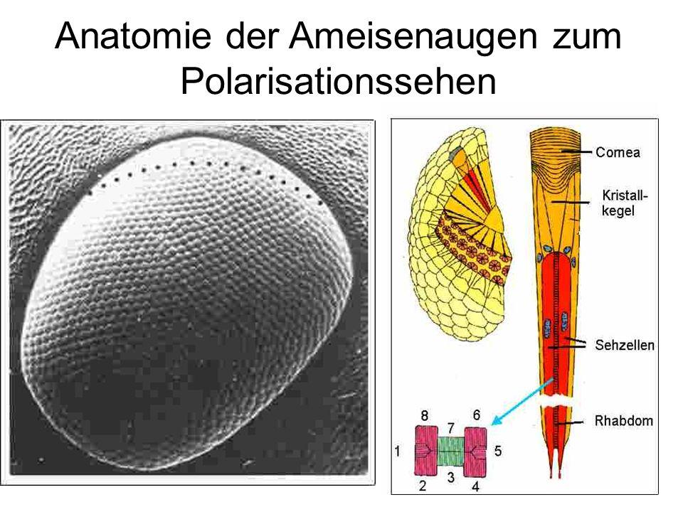 Tolle Die Anatomie Einer Ameise Ideen - Menschliche Anatomie Bilder ...