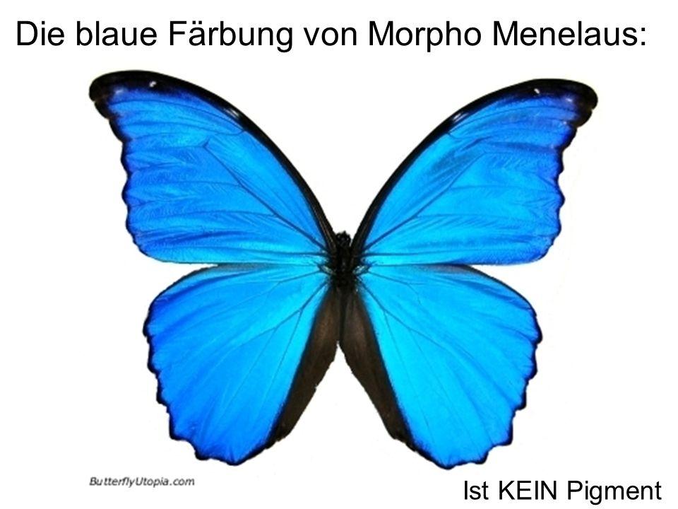 Die blaue Färbung von Morpho Menelaus:
