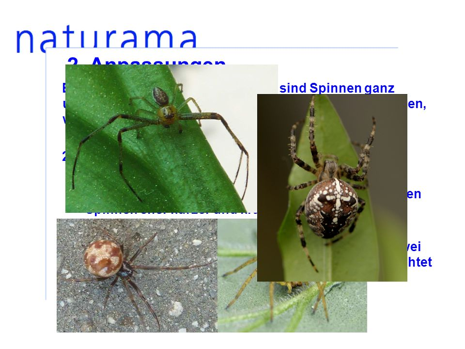 2. Anpassungen Entsprechend ihrer Jagdstrategien sind Spinnen ganz unterschiedlich gebaut. Du kannst am Aussehen erkennen, wie eine Spinne jagt: