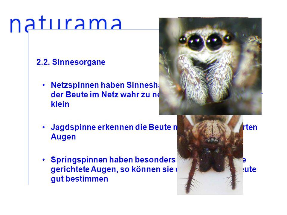 2.2. Sinnesorgane Netzspinnen haben Sinneshaare, um Erschütterungen der Beute im Netz wahr zu nehmen, ihre Augen sind nur klein.
