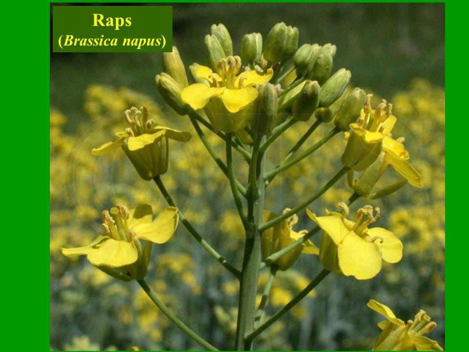 Raps (Brassica napus)