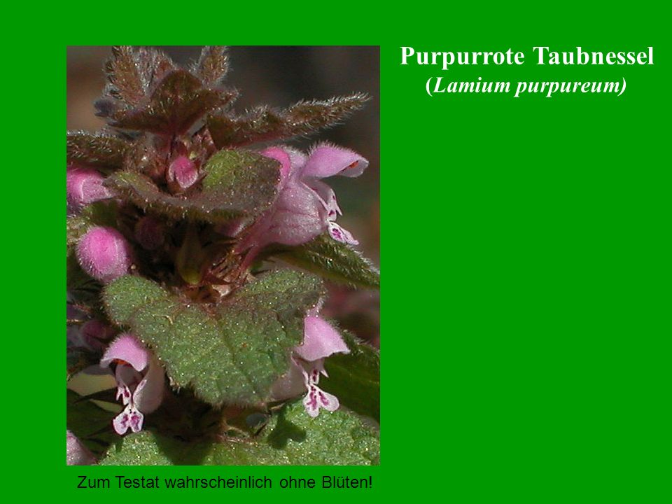 Purpurrote Taubnessel
