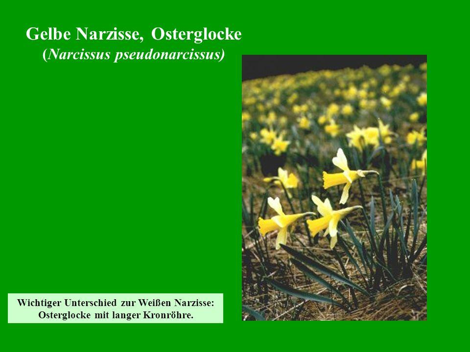 Gelbe Narzisse, Osterglocke (Narcissus pseudonarcissus)