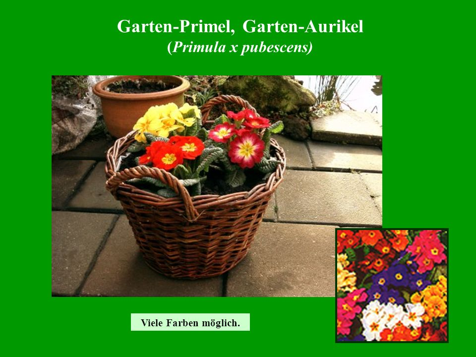 Garten-Primel, Garten-Aurikel