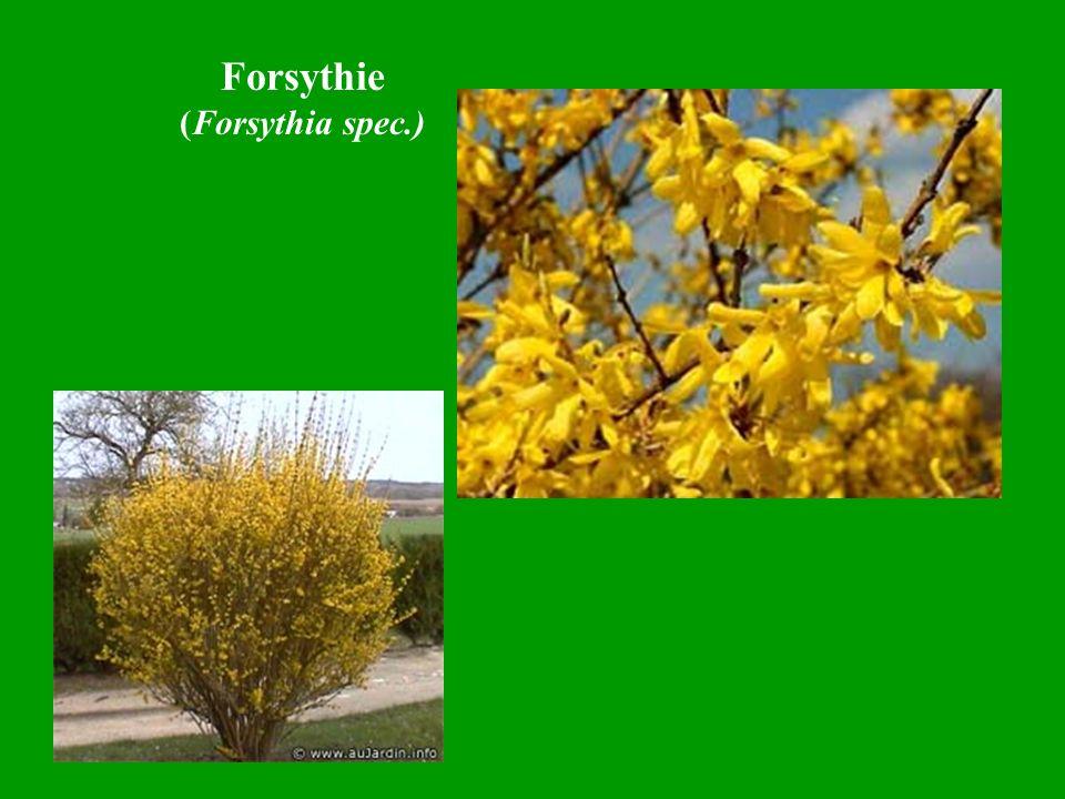 Forsythie (Forsythia spec.)