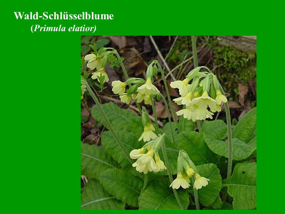 Wald-Schlüsselblume (Primula elatior)