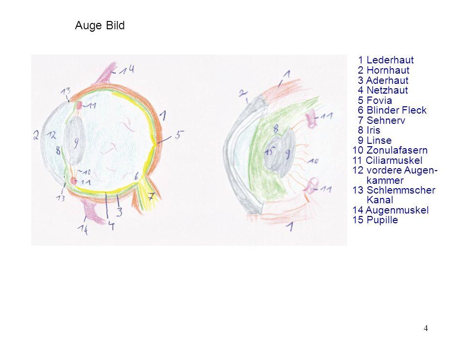 Auge Bild 1 Lederhaut 2 Hornhaut 3 Aderhaut 4 Netzhaut 5 Fovia