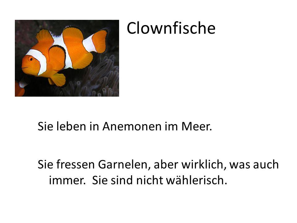 Clownfische Sie leben in Anemonen im Meer. Sie fressen Garnelen, aber wirklich, was auch immer.