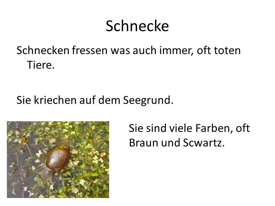Schnecke Schnecken fressen was auch immer, oft toten Tiere.