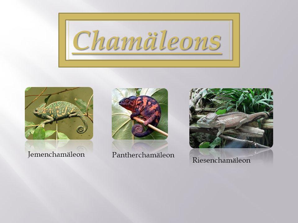 Chamäleons Jemenchamäleon Pantherchamäleon Riesenchamäleon