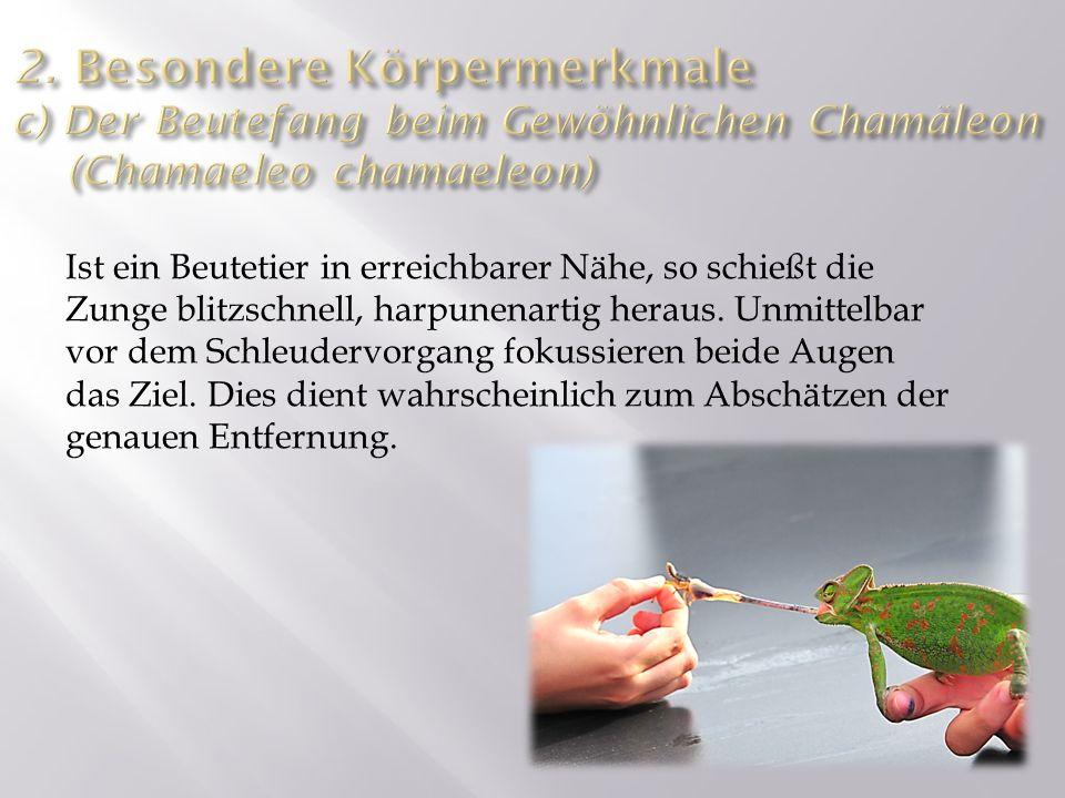 2. Besondere Körpermerkmale c) Der Beutefang beim Gewöhnlichen Chamäleon (Chamaeleo chamaeleon)