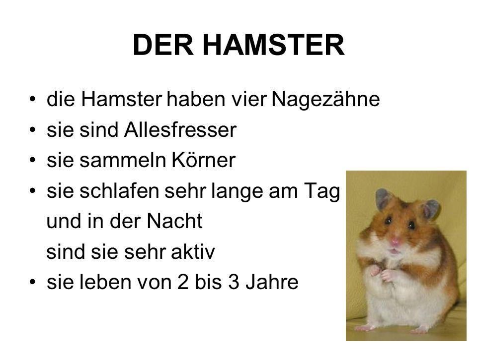 DER HAMSTER die Hamster haben vier Nagezähne sie sind Allesfresser
