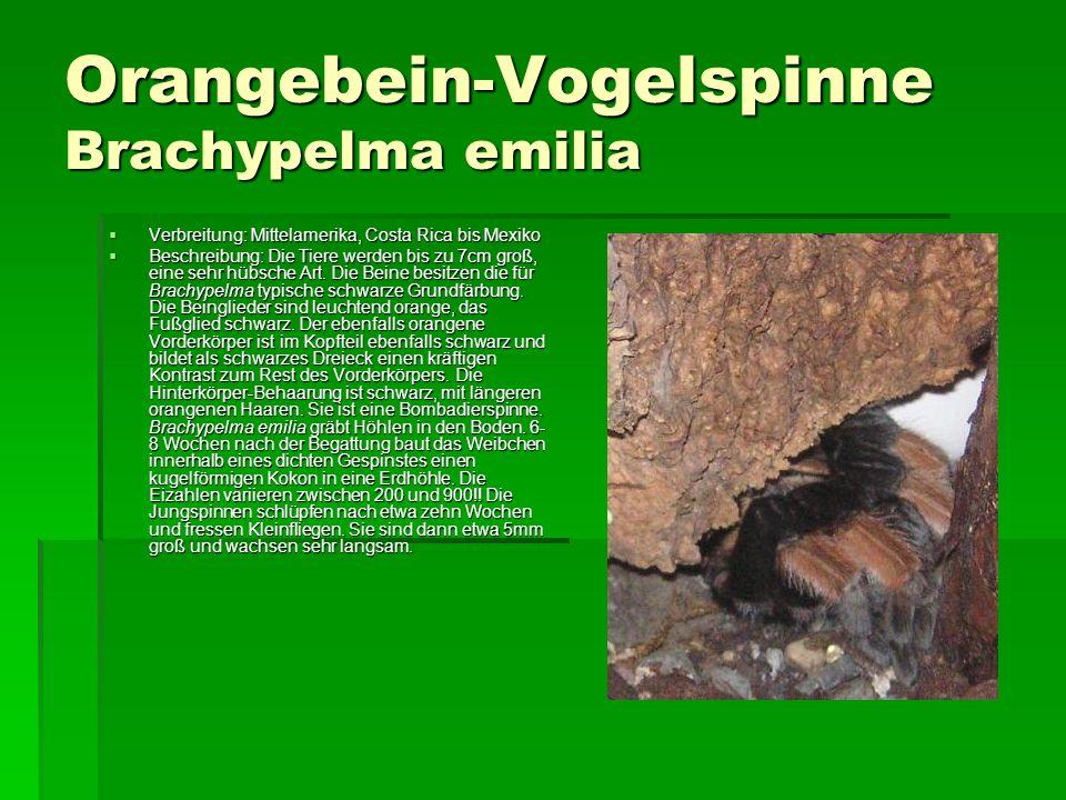 Orangebein-Vogelspinne Brachypelma emilia