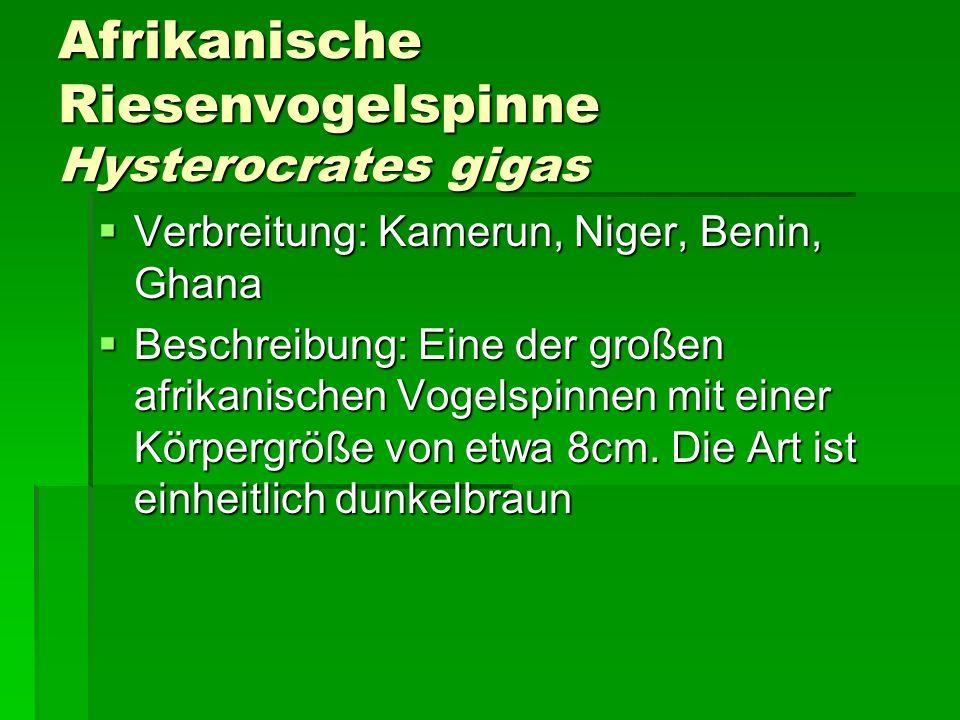 Afrikanische Riesenvogelspinne Hysterocrates gigas