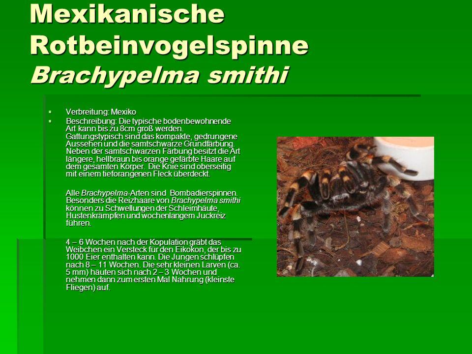 Mexikanische Rotbeinvogelspinne Brachypelma smithi