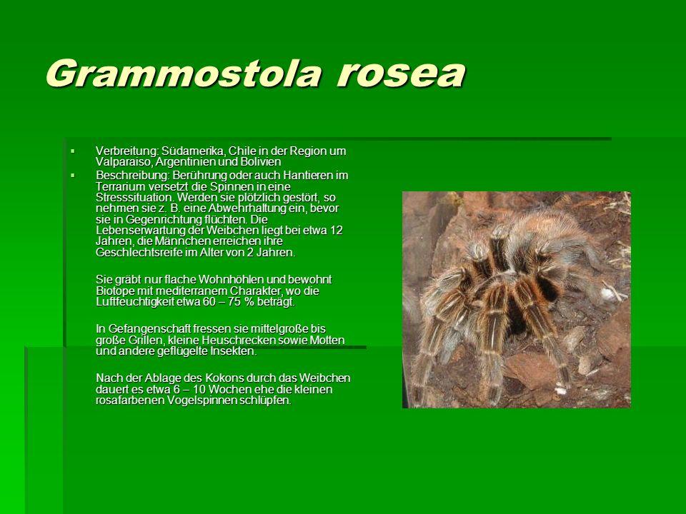Grammostola rosea Verbreitung: Südamerika, Chile in der Region um Valparaiso, Argentinien und Bolivien.