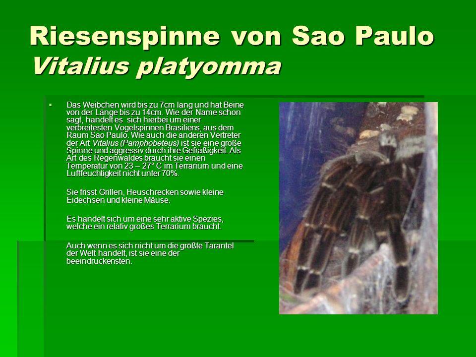 Riesenspinne von Sao Paulo Vitalius platyomma