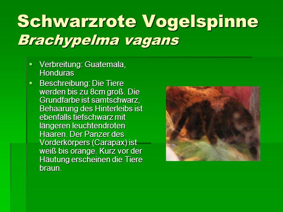 Schwarzrote Vogelspinne Brachypelma vagans