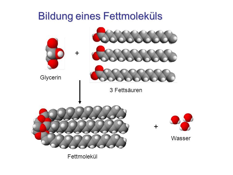 Bildung eines Fettmoleküls