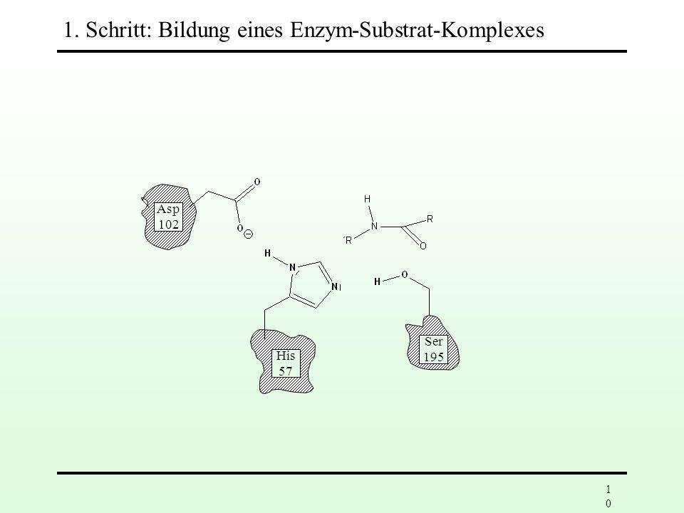 1. Schritt: Bildung eines Enzym-Substrat-Komplexes