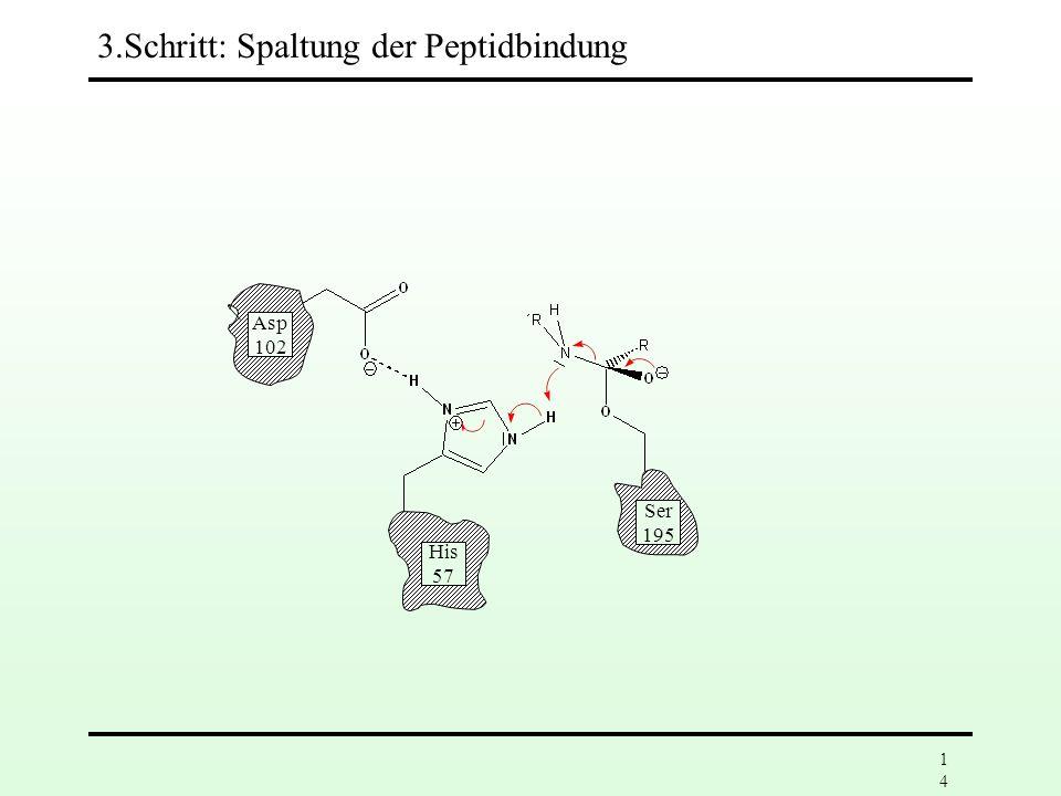 3.Schritt: Spaltung der Peptidbindung