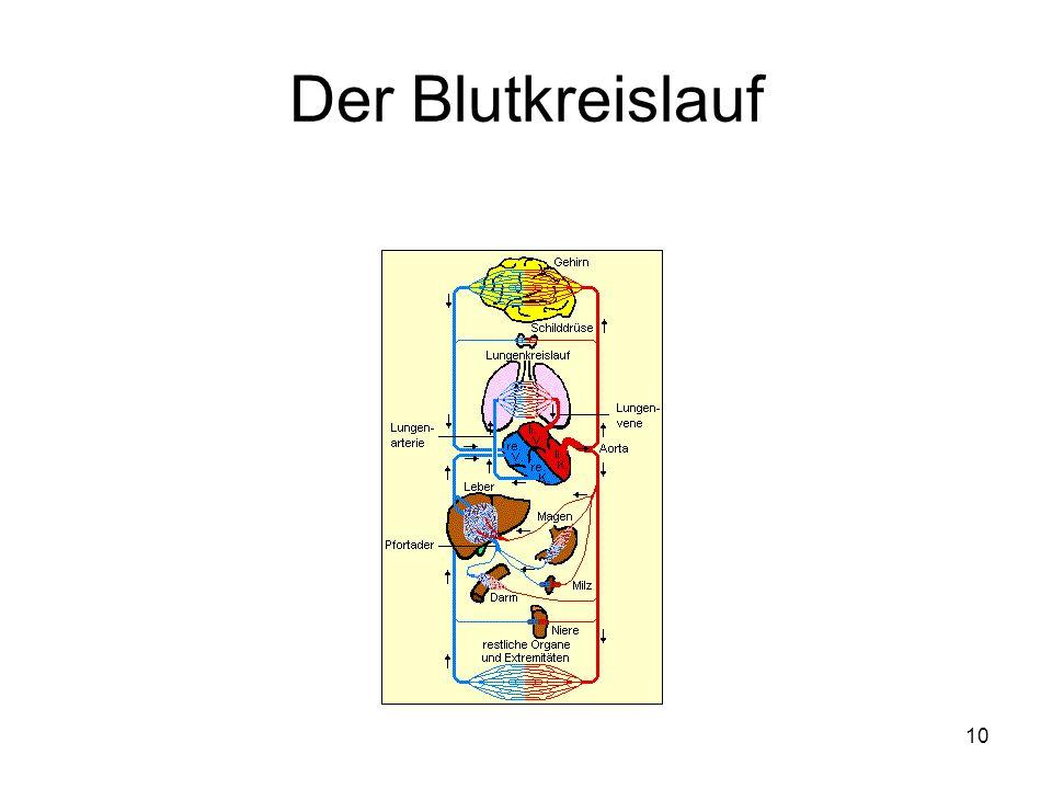 Der Blutkreislauf