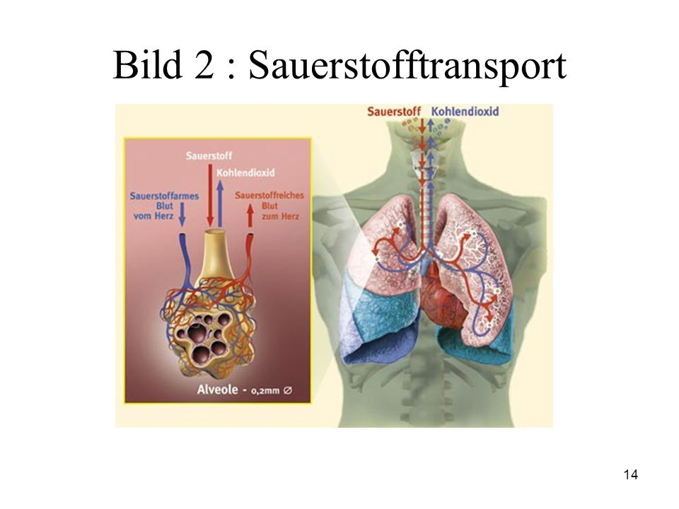 Bild 2 : Sauerstofftransport